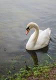 Un cisne que se sienta por la orilla en una charca Fotografía de archivo