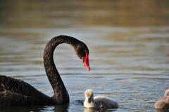 Un cisne y sus bebés Imágenes de archivo libres de regalías