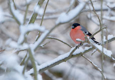 Un ciuffolotto roosting in un paesaggio di inverno Fotografia Stock