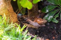un clamber del caracol hasta el árbol en el jardín Imagenes de archivo