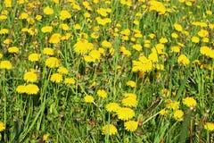 Un claro con amarillo florece el diente de león Imagen de archivo