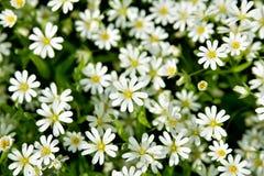 Un claro de las flores blancas con las hojas verdes Fotografía de archivo libre de regalías