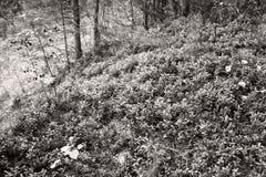 Un claro del ar?ndano en el oto?o en el bosque por la tarde fotos de archivo