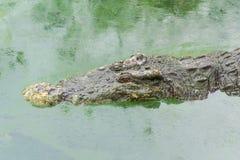 Un coccodrillo Immagine Stock Libera da Diritti