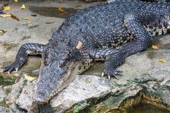 Un coccodrillo Fotografia Stock Libera da Diritti