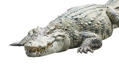 Un coccodrillo su bianco Fotografia Stock