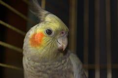 Un cockatiel en los tonos calientes del primer de la jaula Fotografía de archivo