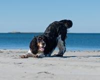 Un cocker jouant sur une plage Photo stock