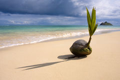 Un coco del brote en la costa fotos de archivo