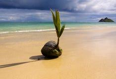 Un coco del brote en la costa Imagen de archivo