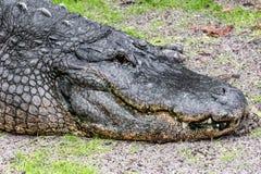 Un cocodrilo americano en el cierre de la Florida para arriba Foto de archivo libre de regalías