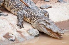 Un cocodrilo del agua dulce Fotos de archivo