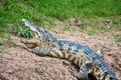 Un cocodrilo del agua dulce Foto de archivo libre de regalías
