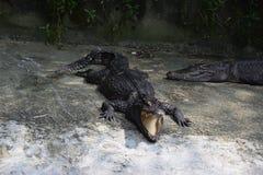 Un cocodrilo grande en el parque Fotos de archivo