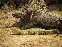 Un cocodrilo que tiene baño de sol Imagen de archivo