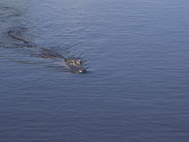 Un cocodrilo salvaje en la natación en el agua imagenes de archivo