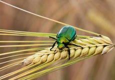 Un coléoptère japonais vert sur une tige de blé Photos libres de droits
