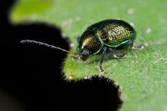 Un coléoptère r3fléchissant verdâtre photographie stock libre de droits