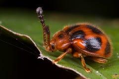 Un coléoptère rouge velu Photo stock