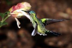 Un colibrì che raccoglie nettare Fotografie Stock Libere da Diritti