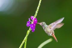 Un colibrì che si libra ad un fiore in Costa Rica, America Centrale fotografie stock