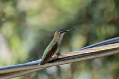 Un colibrì che si siede su un cavo immagine stock