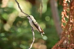 Un colibrì che si siede su un ramo di albero immagine stock libera da diritti