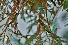 Un colibrì che si siede su un ramo di albero fotografia stock libera da diritti