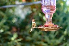Un colibrì che si siede sull'alimentatore fotografia stock