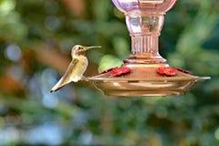Un colibrì che si siede sull'alimentatore fotografie stock libere da diritti
