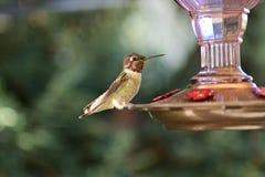 Un colibrì che si siede sull'alimentatore fotografie stock