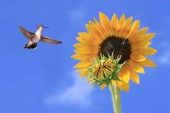 Un colibrì nero--chinned si libra dal girasole immagine stock