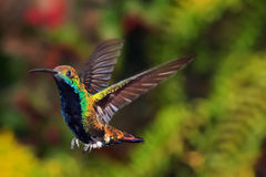 Un colibrí alrededor a la pista Fotos de archivo