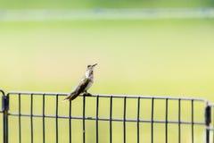 Un colibrí Ruby-throated masculino no maduro se encaramó en una cerca Imagen de archivo libre de regalías