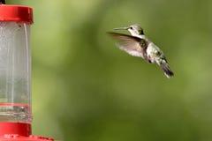Un colibrí rufo asoma hacia el alimentador. Imagen de archivo