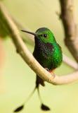 Un colibri amorcé spectaculaire de Raquette-arrière Photographie stock