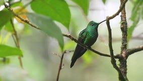 Un colibri brillant Vert-couronné de Monteverde en Costa Rica banque de vidéos