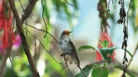 Un colibri de picchu de machu ?tirant ses ailes banque de vidéos