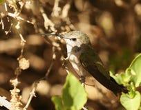 Un colibri femelle de Calliope images libres de droits