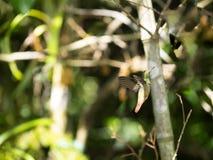 Un colibri vert et blanc, émeraude andine, étant perché sur une branche feuillue dans Mindo, l'Equateur Photos libres de droits