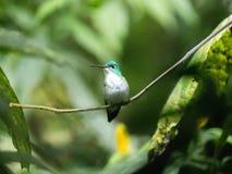 Un colibri vert et blanc, émeraude andine, étant perché sur une branche feuillue dans Mindo, l'Equateur Photo libre de droits