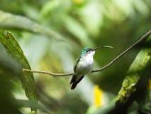 Un colibri vert et blanc, émeraude andine, étant perché sur une branche feuillue dans Mindo, l'Equateur Image libre de droits