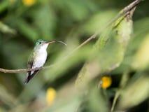 Un colibri vert et blanc, émeraude andine, étant perché sur une branche feuillue dans Mindo, dans les montagnes des Andes de l'Eq Photos libres de droits