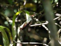 Un colibri vert et blanc, émeraude andine, étant perché sur une branche feuillue dans Mindo, dans les montagnes des Andes de l'Eq Photographie stock libre de droits