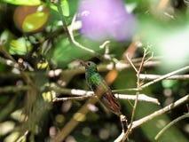 Un colibri vert et blanc, émeraude andine, étant perché sur une branche feuillue dans Mindo, dans les montagnes des Andes de l'Eq Image stock