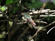 Un colibri vert et blanc, émeraude andine, étant perché sur une branche feuillue dans Mindo, dans les montagnes des Andes de l'Eq Images libres de droits