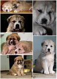 Un collage circa i cuccioli del mastiff. Immagine Stock