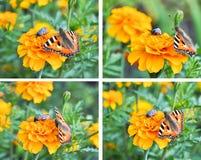 Un collage de mariposas Imágenes de archivo libres de regalías