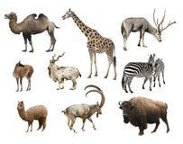 Un collage del artiodactyla dei mammiferi degli animali Fotografie Stock Libere da Diritti
