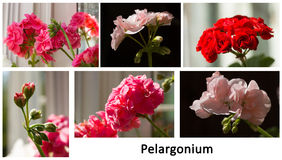 Un collage del hortorum floreciente del Pelargonium Imagen de archivo